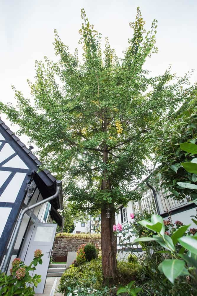 Ginkobaum in Haus in Bewegung